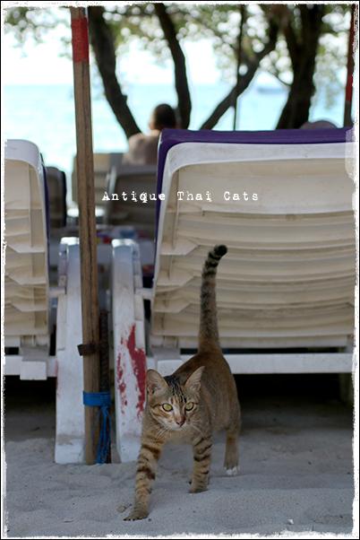 お出かけ 愛されてるサイン ラン島 Koh Larn เกาะล้าน 砂浜 beach หาดทราย island タイ ヲソト 野良猫 地域猫 stray alley cat Thailand แมว ไทย