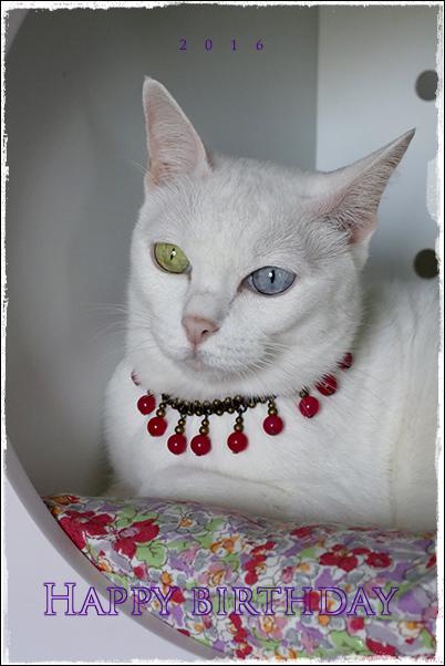 2016 11才 誕生日 birthday 猫 カオマニー オッドアイ cat khaomanee oddeyes แมว ไทย ขาวมณี アンティークタイキャット