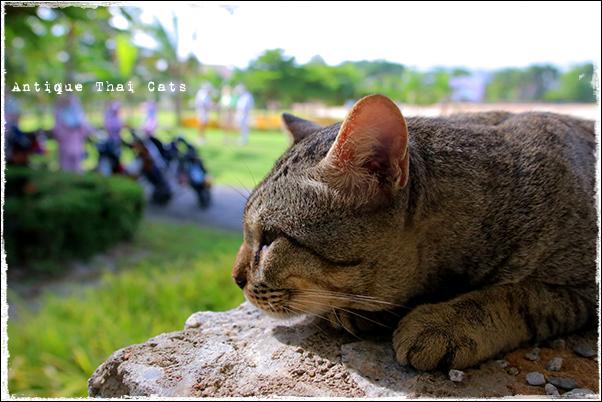 タイのヲソト猫167 ゴルフ場の猫 タイ ヲソト 野良猫 地域猫 stray alley cat Thailand แมว ไทย アンティークタイキャット