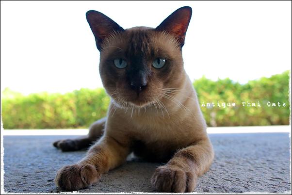 タイのヲソト猫168 猫と朝食 タイ ヲソト 野良猫 地域猫 stray alley cat Thailand แมว ไทย アンティークタイキャット