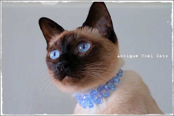collar ปลอกคอ วันเกิด birthday ビーズ beads 猫 シャム猫 原種 猫とろ玉 Siamese cat Thailand torotama แมว ไทย วิเชียรมาศ Antique Thai Cats アンティークタイキャット