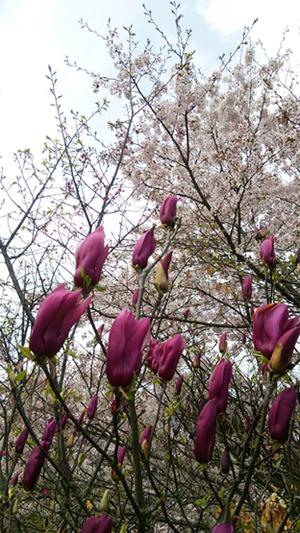 紫モクレンと桜16041