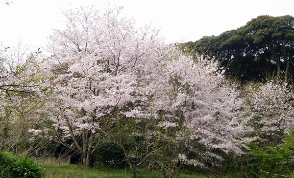 大桜160401