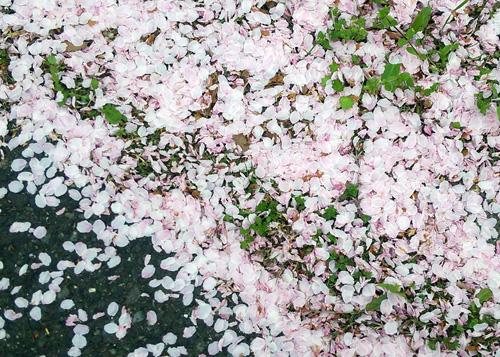 桜花びらと16041
