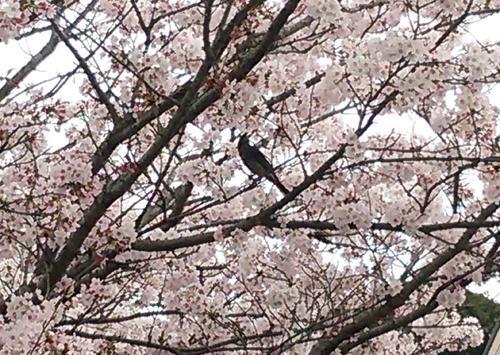 ヒヨドリと桜16041