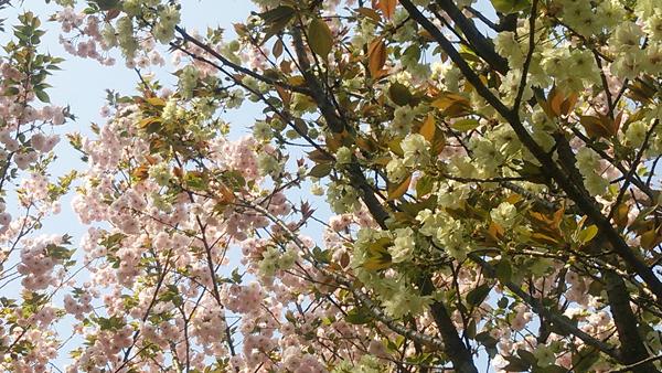 八重桜16042
