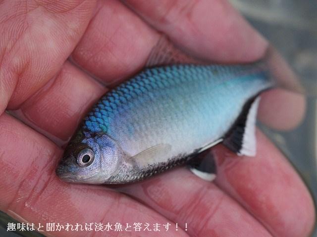 岡山の川3 (釣り) ヤリタナゴ...