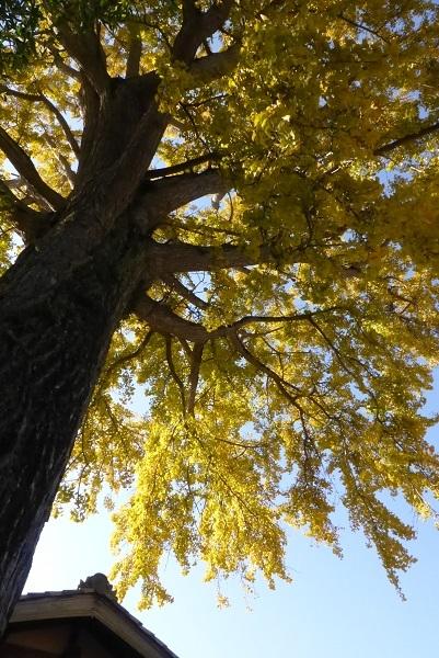 イチョウの枝葉②