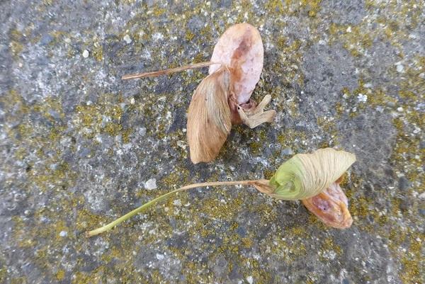 葉つきイチョウ