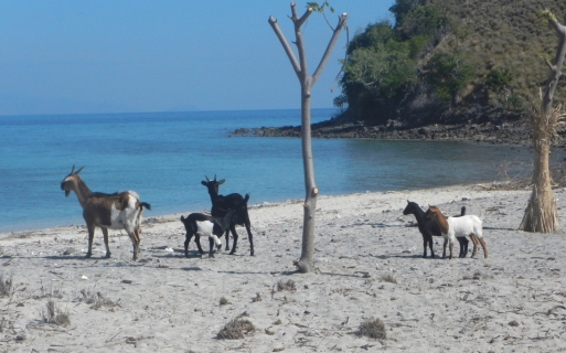 11 goat