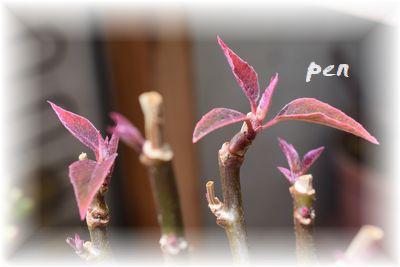 プリンセチア新芽