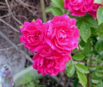 濃ピンクの花 350