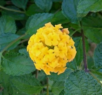 きいろの花