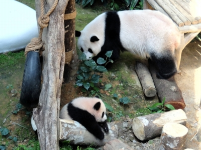 マレーシア135パンダ