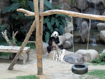マレーシア146パンダ