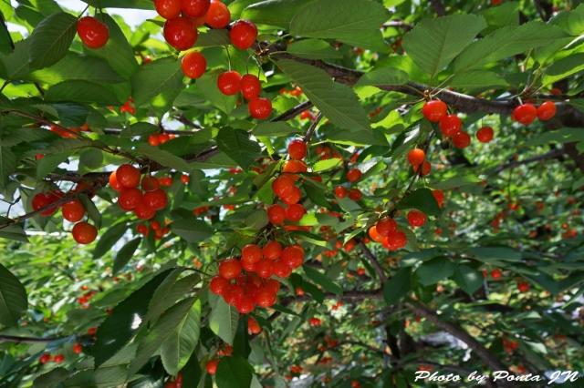 cherry2016-0006ss.jpg