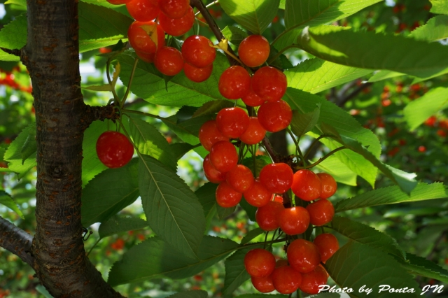 cherry2016-0007.jpg