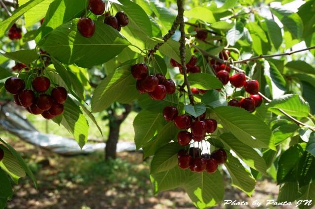 cherry2016-0009.jpg