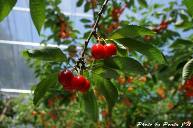 cherry2016-0019.jpg