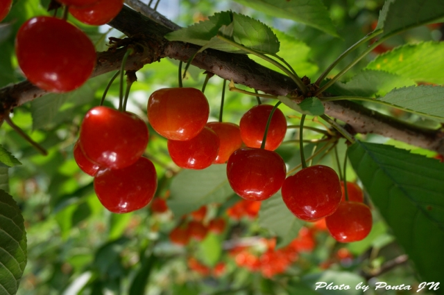 cherry2016-0021.jpg