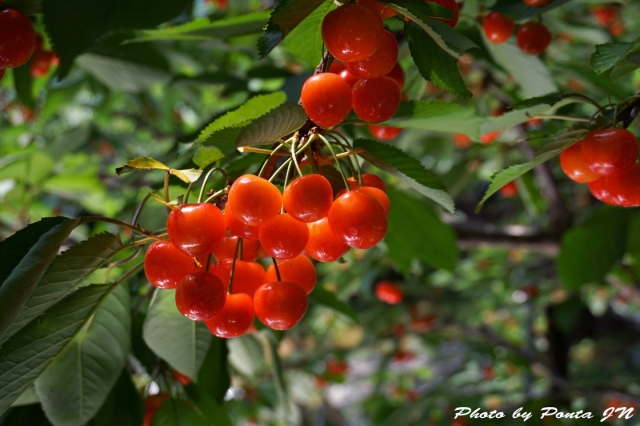 cherry2016-0022ss.jpg