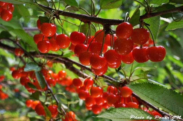 cherry2016-0024ss.jpg