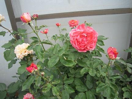 ラシャンス2016、6月12日2番花