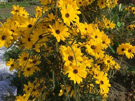 細葉向日葵