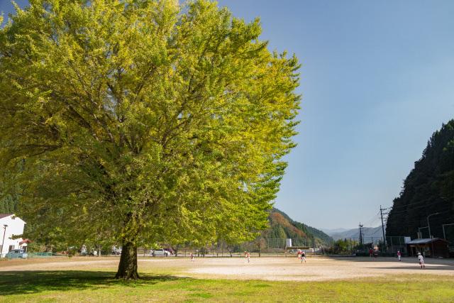 旧日野小学校 銀杏の木