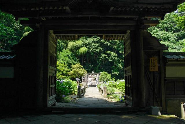 松江市 月照寺 紫陽花 あじさい