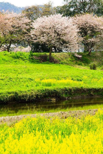 伯太川 桜 菜の花