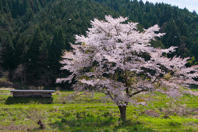 新庄村 1本桜