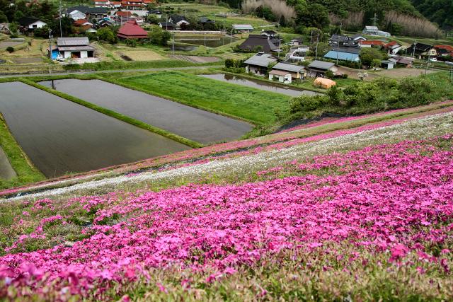 鳥取県日野郡日野町下黒坂 芝桜