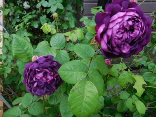 カーディナル・ド・リシュリュー(濃紫)