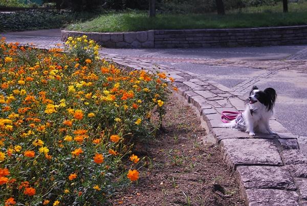 マリーゴールドの花壇で