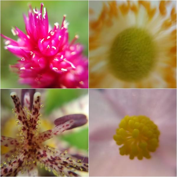 お庭の花マクロで