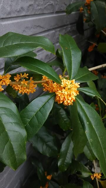 金木犀のの花