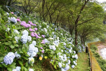中辺路紫陽花