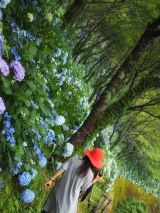 中辺路紫陽花7