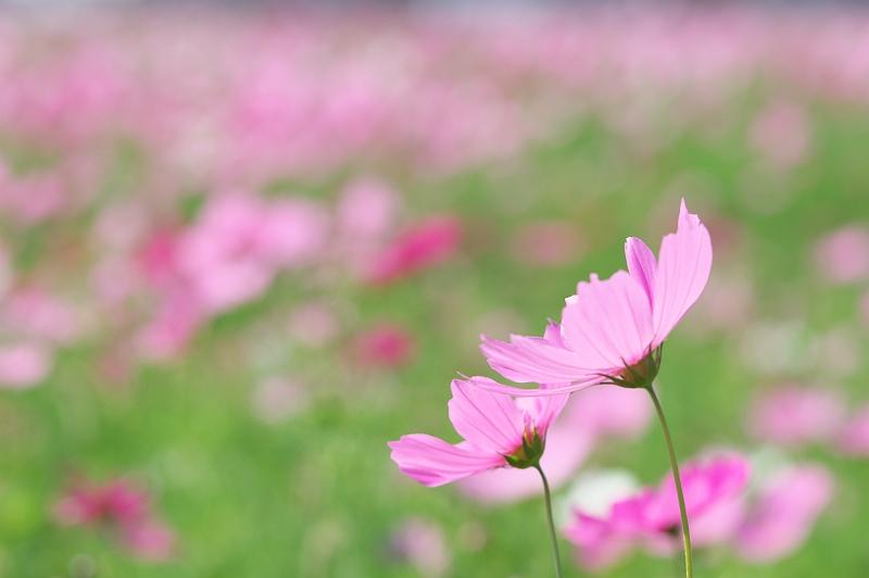 コスモスが咲く頃