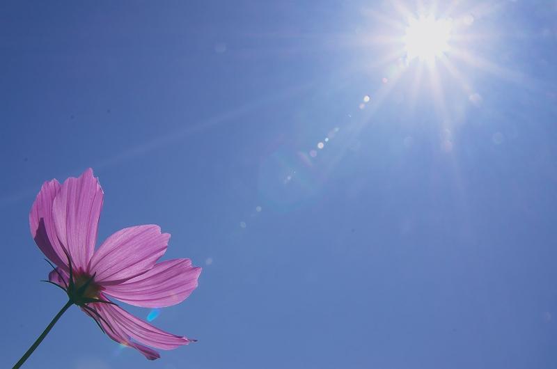 コスモスが咲く頃 2