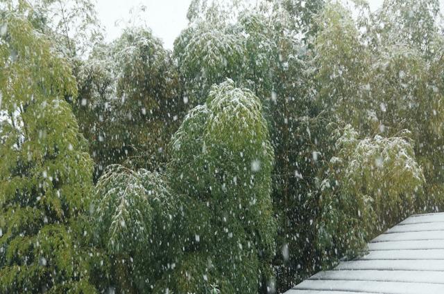 竹林と降りだした雪