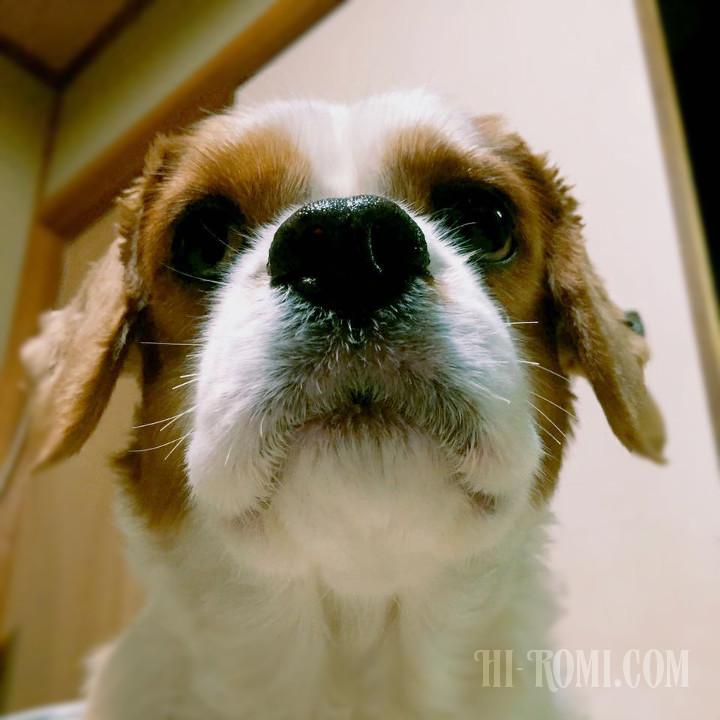 ひげ 伸びた 看板犬 キャバリア おむすび おにぎり