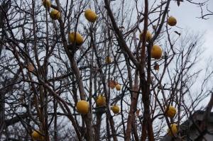 カリンの果実12