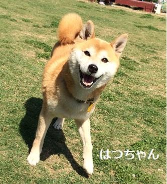 はつちゃん 柴犬