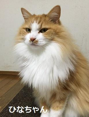 ひなちゃん 猫