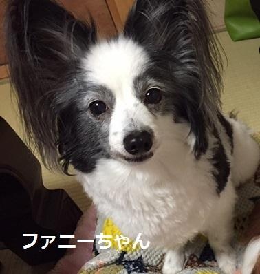 ファニーちゃん パピヨン