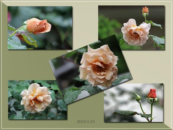roze-my-gerden.jpg