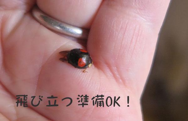 tentoumushi-2.jpg