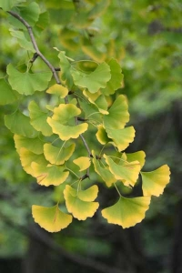 Yellowing Ginkgo Leaves